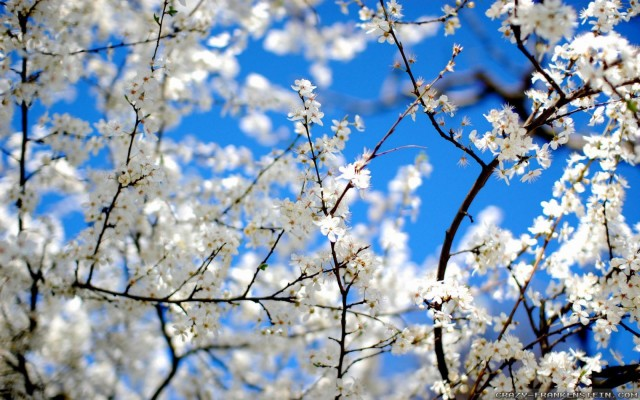 blossoms-and-blue-beautiful-spring-wallpapers-1680x1050