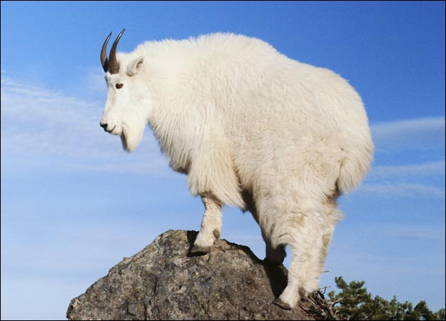mountain-goat-picture.jpeg
