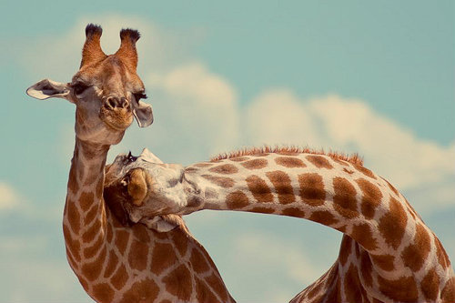 relationships-giraffe